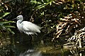 Little Egret 4.jpg