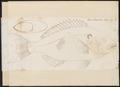 Lobotes emarginatus - 1774-1804 - Print - Iconographia Zoologica - Special Collections University of Amsterdam - UBA01 IZ12900269.tif