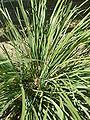 Lomandra longifolia 'Mat-rush' (Laxmanniaceae) leaves.JPG