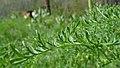 Lomatium dissectum var. dissectum leaves 2.jpg