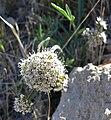 Lomatium nevadense var nevadense 1.jpg