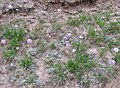 Lomelosia alpestris = Scabiosa alpestris (Caprifoliaceae = Dipsacaceae) (50055005163).jpg