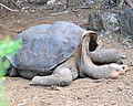 Lonesome George - Pinta Island Tortoise (4806854600).jpg