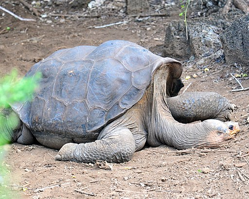 Lonesome George - Pinta Island Tortoise (4806854600)