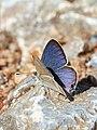 Long-tailed Blue (28972343426).jpg