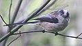 Long tailed tit 4 (239558764).jpg