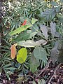 Lophopetalum wightianum 11.JPG