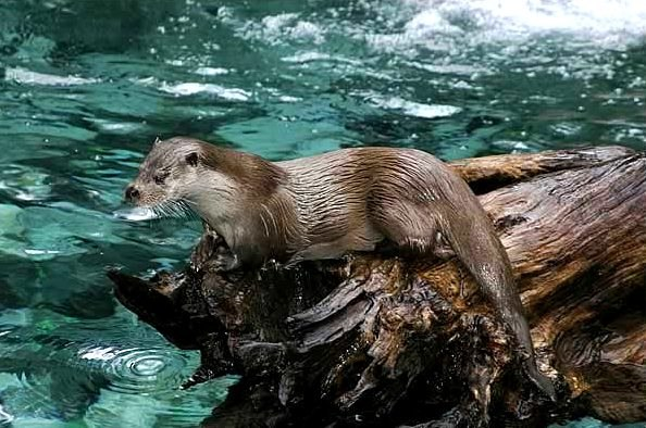Loutre des pyrenees baronnies 2004