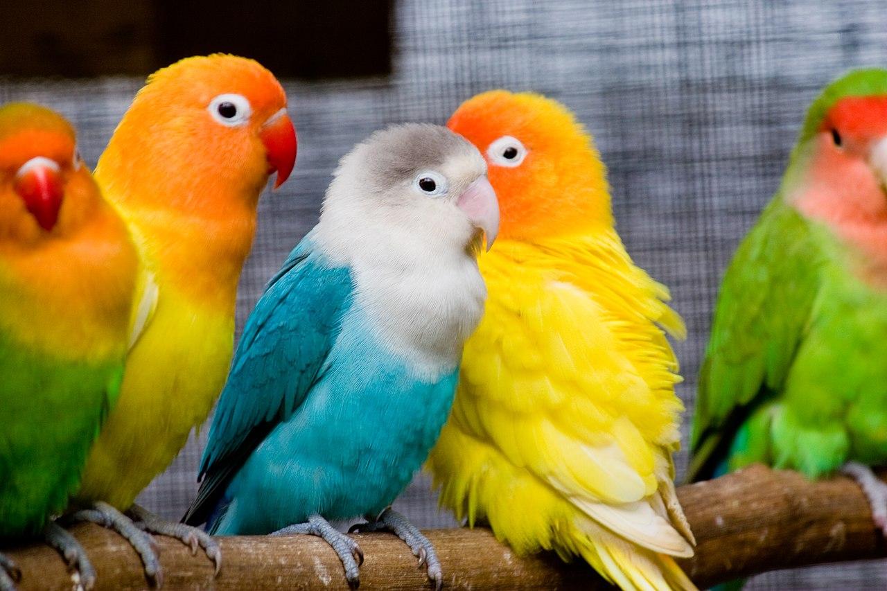 File:Lovebirds on a perch-8b.jpg - Wikipedia