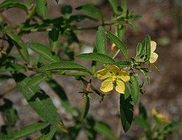 Ludwigia leptocarpa 2