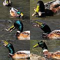 Lunchtime^^ This male duck swallows a True toad in the Warnsbornond only in a few minutes at 15 April 2015 - panoramio.jpg