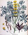 Lupinus luteus — Flora Batava — Volume v17.jpg