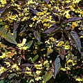 Lysimachia ciliata Loosestrife 'Firecracker' in Nuthurst, West Sussex, England (cropped).jpg