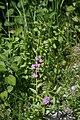 Lythrum junceum.jpg
