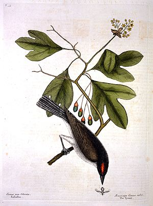 M. Catesby, Natural history of Carolina Wellcome L0021241.jpg