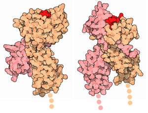 Protein images comparing the MHC I (1hsa) and MHC II (1dlh) molecules. (more details...)