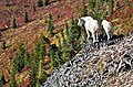 MOUNTAIN GOATS AND FALL COLOR GIFFORD PINCHOT (23788404242).jpg