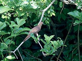 MacKinlay's Cuckoo-Dove (Macropygia mackinlayi) (15716376852).jpg