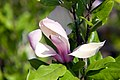 Magnolia Ann 1zz.jpg