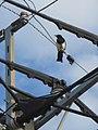 Magpie on wire Saga city 01.jpg