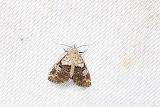 <i>Maguda</i> Genus of moths
