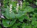Maianthemum Canadensis (3d628a858c95467d82edef6568ff4289).JPG