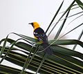 Male Hooded Oriole (4354302333).jpg