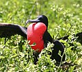 Male greater frigate bird displaying crop.jpg