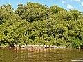Malpighiales - Rhizophora mangle - 10.jpg