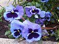 Malpighiales - Viola x wittrockiana - kew 2.jpg