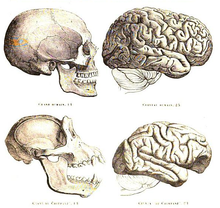 Drawing of human and chimpanzee skull and brain