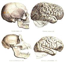 Desenho de crânio e cérebro de humano e chimpanzé
