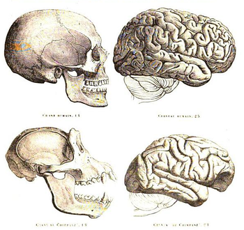 English: Human and chimpanzee skull and brain