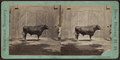 Man showing a bull in front of his barn at Westport, Conn, by Whitney, Beckwith & Paradice.png