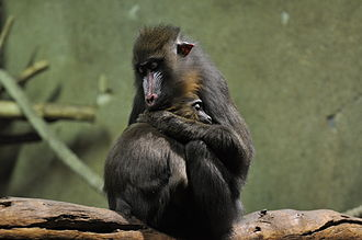 Mandrill - Sleeping mother with young