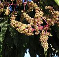 Mangifera indica-- Mango Flowers (27187839673).jpg