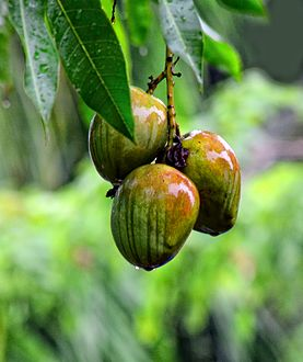 منجا فاكهة ويكيبيديا