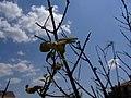 Mantis Religiosa - panoramio - Cofiliquili.jpg