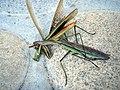 Mantis Tenodera aridifolia02.jpg