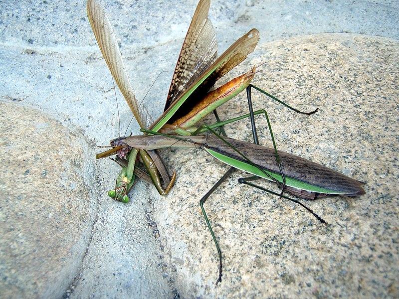 Bộ sưu tập Côn trùng - Page 5 800px-Mantis_Tenodera_aridifolia02