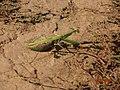Mantis religiosa, female.JPG