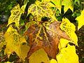 Maple leaves in autumn 1.JPG
