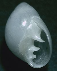 Marinula xanthostoma 002