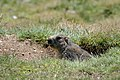 Marmota marmota Tauerntal 20160807 A02.jpg