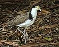 Masked Lapwing, immature, New Zealand (6344544747).jpg