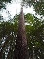 Mature White Pine.jpg
