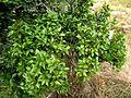 Maytenus acuminata, loof, b, Krantzkloof NR.jpg