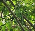 Mealy Parrot Amazona farinosa (41173764940).jpg