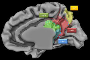 Medial parietal lobe close up.png