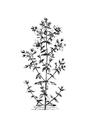 Medical Botany-1790-1-0068-10.png